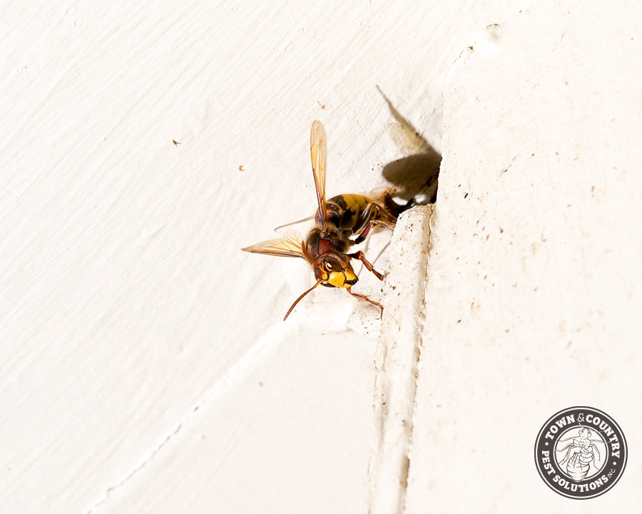 european hornet, european hornets, hornet, town and country, town and country pest solutions, pest, pests, rochester, syracuse, buffalo, rochester ny, syracuse ny, buffalo ny, new york, western ny, rochester exterminators, syracuse exterminators, buffalo exterminators, bed bugs, fabry, matt fabry, extermination, hire the pros, friendly, trustworthy