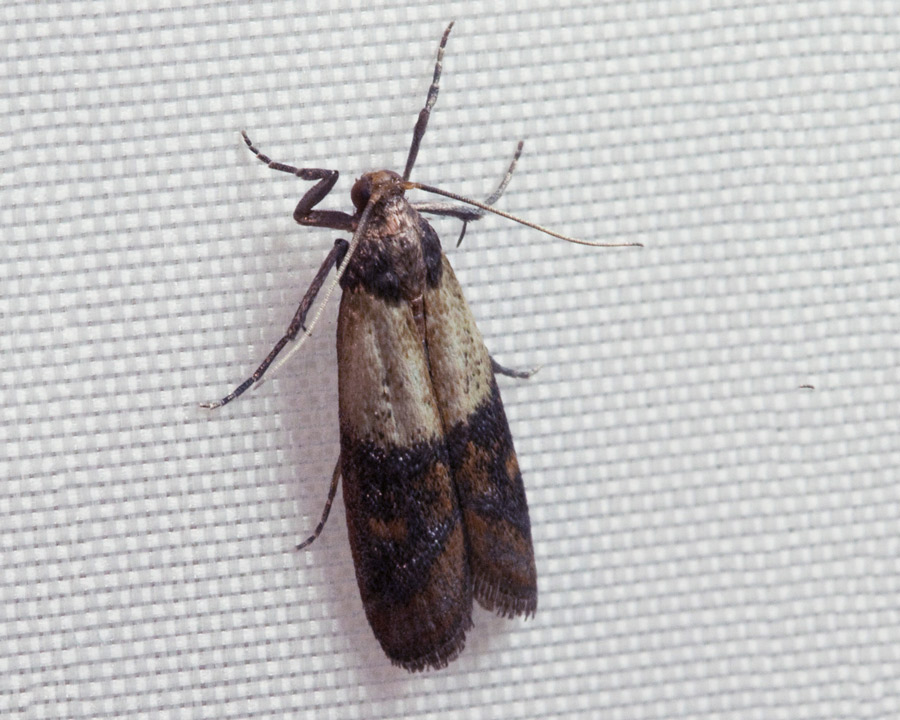 grain moth, grain moths, town and country, town and country pest solutions, pest, pests, rochester, syracuse, buffalo, rochester ny, syracuse ny, buffalo ny, new york, western ny, rochester exterminators, syracuse exterminators, buffalo exterminators, bed bugs, fabry, matt fabry, extermination, hire the pros, friendly, trustworthy
