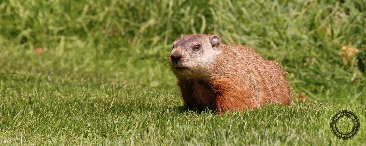 groundhogs town and country pest solutions inc