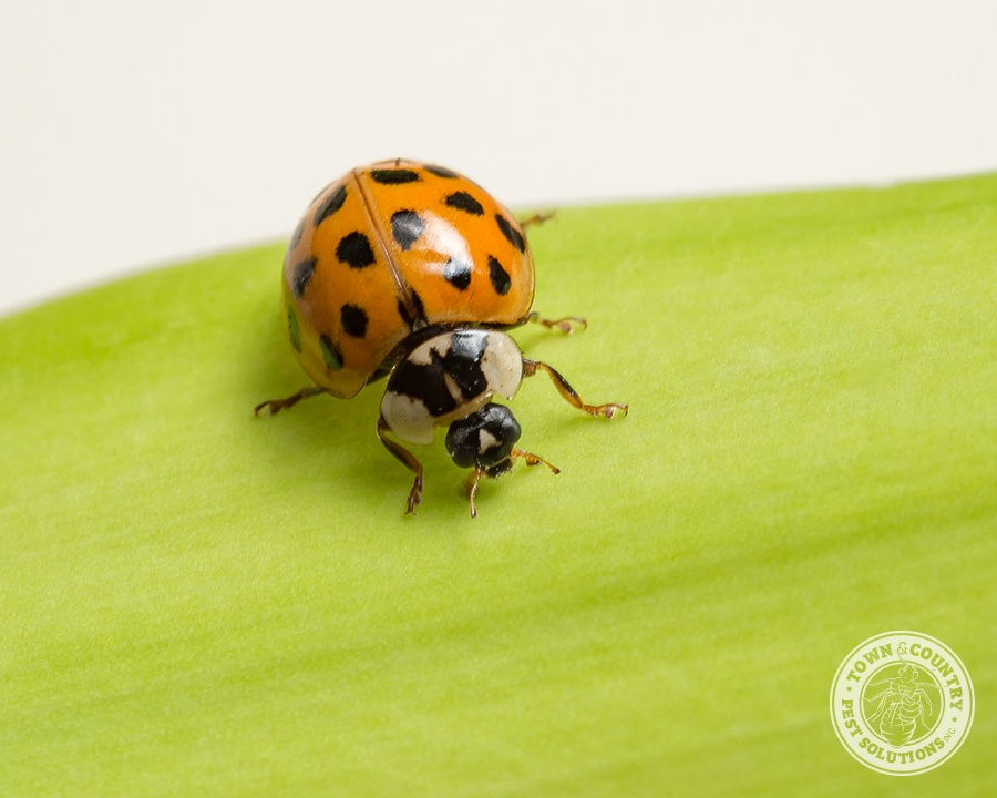 Asian ladybugs in north america cannot