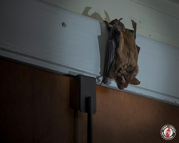 brown bat, vampire, town and country, town and country pest solutions, pest, pests, rochester, syracuse, buffalo, rochester ny, syracuse ny, buffalo ny, new york, western ny, rochester exterminators, syracuse exterminators, buffalo exterminators, bed bugs, fabry, matt fabry, extermination, hire the pros, friendly, trustworthy