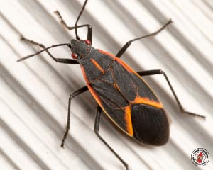 Box Elder Beetles