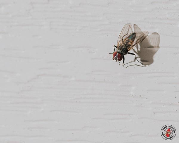 house fly, house flies, town and country, town and country pest solutions, pest, pests, rochester, syracuse, buffalo, rochester ny, syracuse ny, buffalo ny, new york, western ny, rochester exterminators, syracuse exterminators, buffalo exterminators, bed bugs, fabry, matt fabry, extermination, hire the pros, friendly, trustworthy