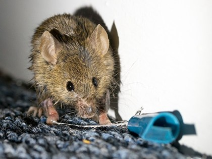 Winter Chill Forces Rodents and Other Small Pests Indoors