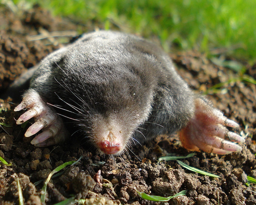 mole, moles, town and country, town and country pest solutions, pest, pests, rochester, syracuse, buffalo, rochester ny, syracuse ny, buffalo ny, new york, western ny, rochester exterminators, syracuse exterminators, buffalo exterminators, bed bugs, fabry, matt fabry, extermination, hire the pros, friendly, trustworthy