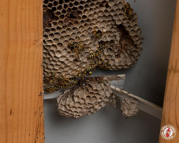 paper wasp, paper wasps, wasp, wasps, town and country, town and country pest solutions, pest, pests, rochester, syracuse, buffalo, rochester ny, syracuse ny, buffalo ny, new york, western ny, rochester exterminators, syracuse exterminators, buffalo exterminators, bed bugs, fabry, matt fabry, extermination, hire the pros, friendly, trustworthy
