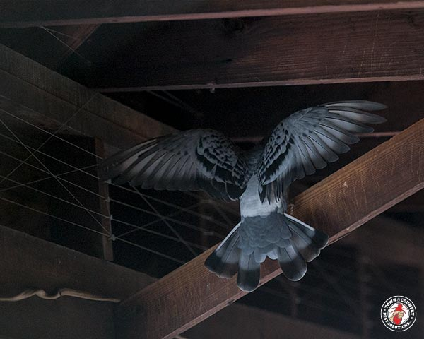 pigeon, pigeons, bird, birds, town and country, town and country pest solutions, pest, pests, rochester, syracuse, buffalo, rochester ny, syracuse ny, buffalo ny, new york, western ny, rochester exterminators, syracuse exterminators, buffalo exterminators, bed bugs, fabry, matt fabry, extermination, hire the pros, friendly, trustworthy