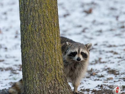 A Raccoon Mother Broke Into A Camaro Before Giving Birth In The Back Seat
