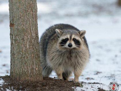 A Celebrity Raccoon Tragically Dies