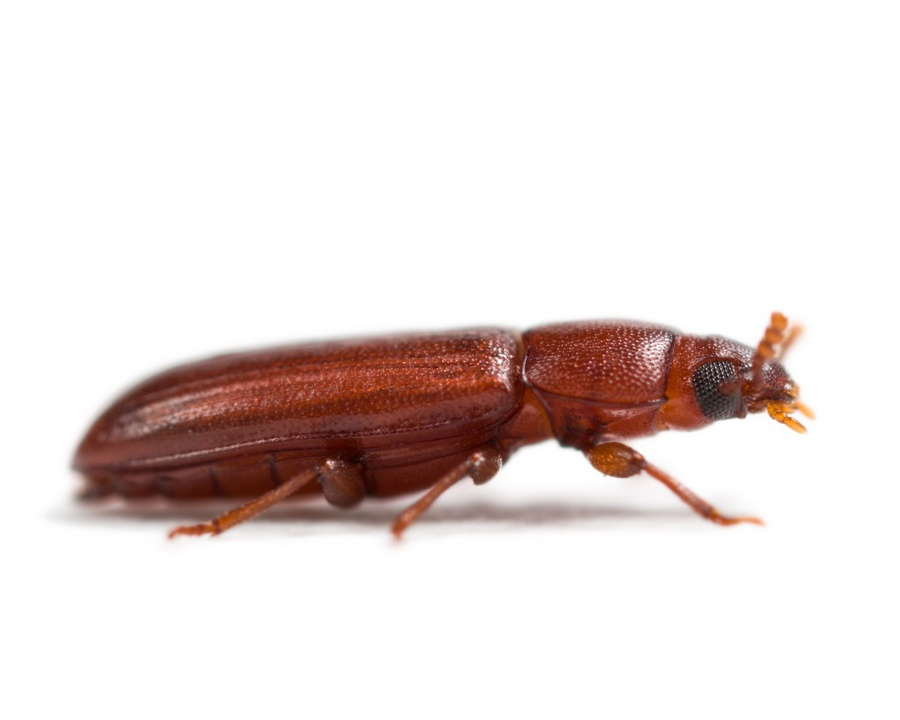 red flour beetle, red flour beetles, beetle, beetles, stored food pest, stored food pests, town and country, town and country pest solutions, pest, pests, rochester, syracuse, buffalo, rochester ny, syracuse ny, buffalo ny, new york, western ny, rochester exterminators, syracuse exterminators, buffalo exterminators, bed bugs, fabry, matt fabry, extermination, hire the pros, friendly, trustworthy