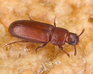 Red Flour Beetles