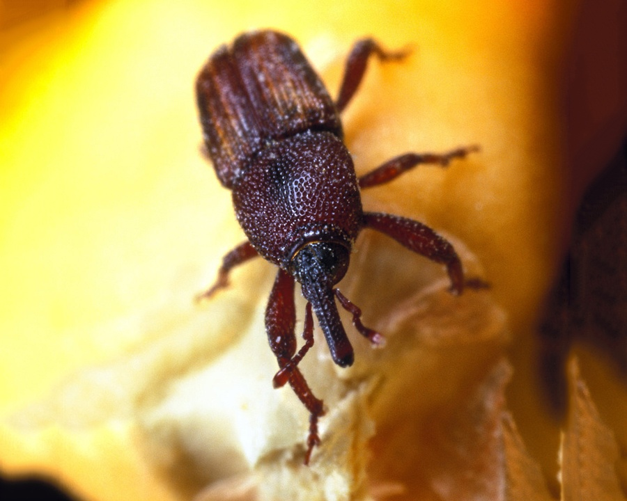 weevil, weevils, stored food pest, stored food pests, town and country, town and country pest solutions, pest, pests, rochester, syracuse, buffalo, rochester ny, syracuse ny, buffalo ny, new york, western ny, rochester exterminators, syracuse exterminators, buffalo exterminators, bed bugs, fabry, matt fabry, extermination, hire the pros, friendly, trustworthy