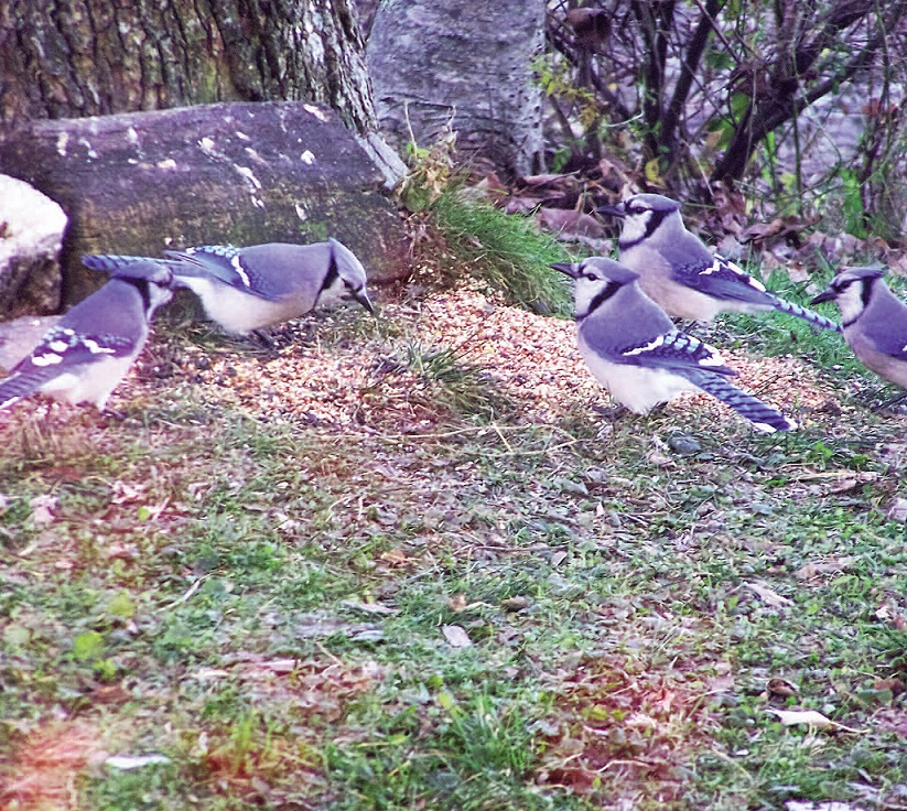 STRENGTH IN NUMBERS: Michael Bilinsky, of China Village, captured this flock of blue jays in his yard.