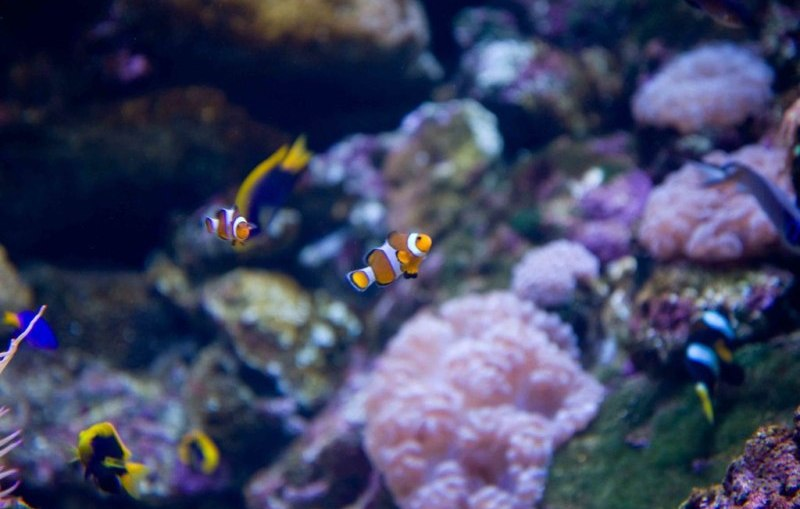 Great Barrier Reef - Clown fish and coral near Townsville