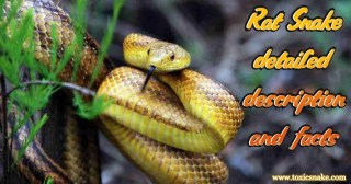 Rat Snake detailed description and facts
