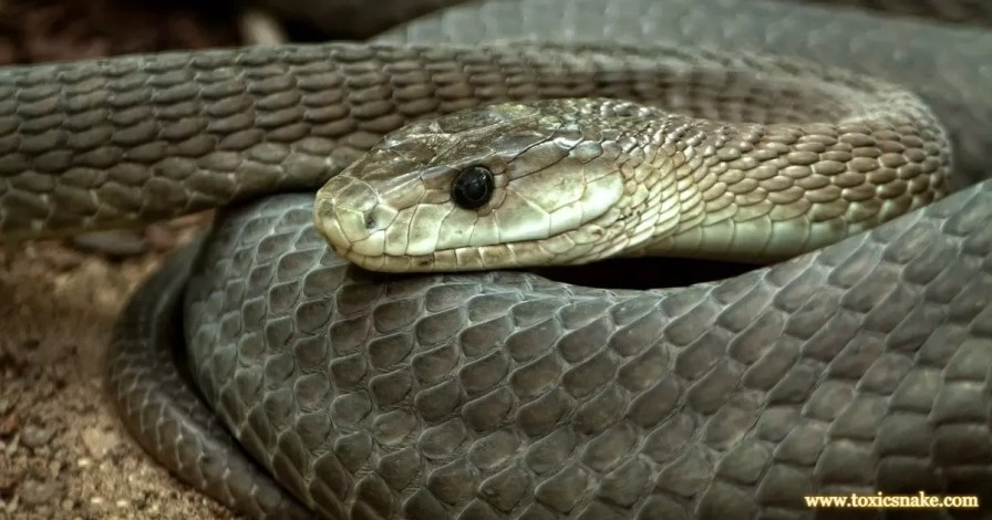 Black Mamba most venomous snakes in the world ranked