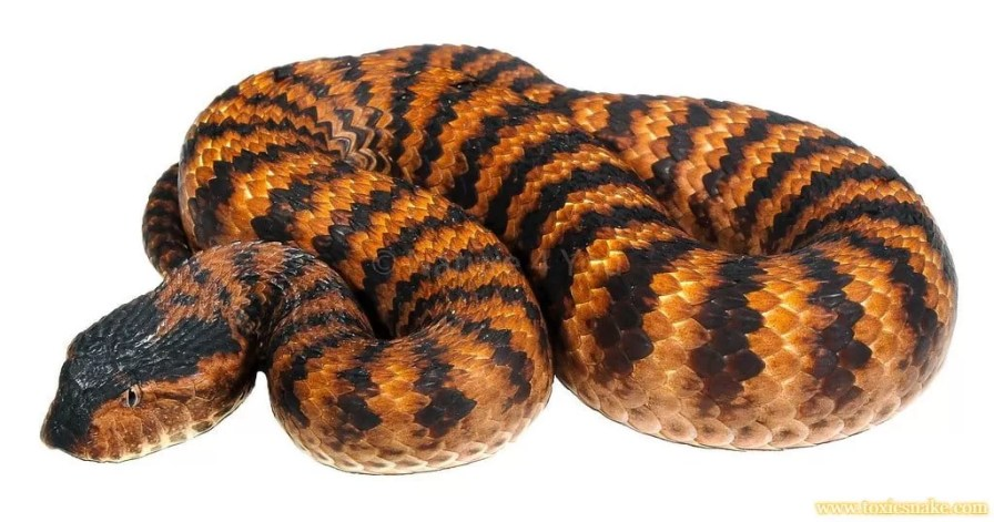 Death adder 10 most venomous snakes in india