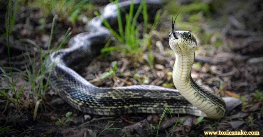 Facts About Rat Snakes