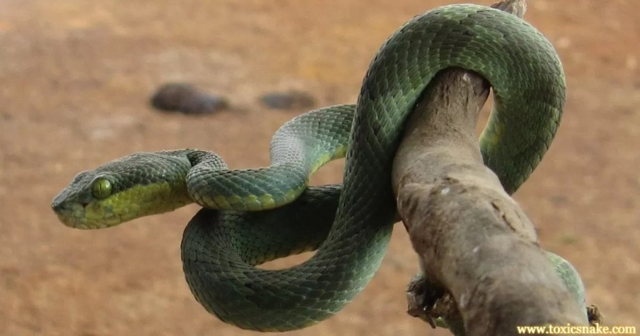 Indian Pit Viper