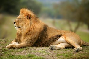 Lion, king of the Serengeti