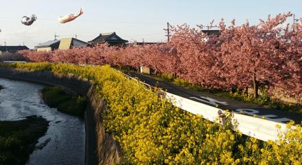免々田川の河津桜