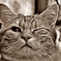 ウィンクする猫