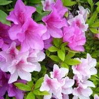 さつき(豊川市の花)