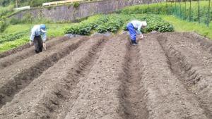 大納言小豆の播種