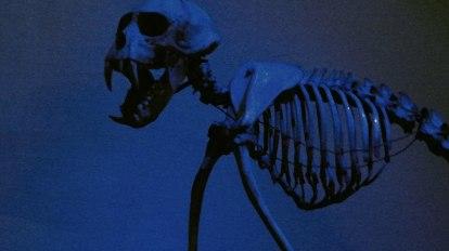 esqueleto animal skeleton primate momo monkey