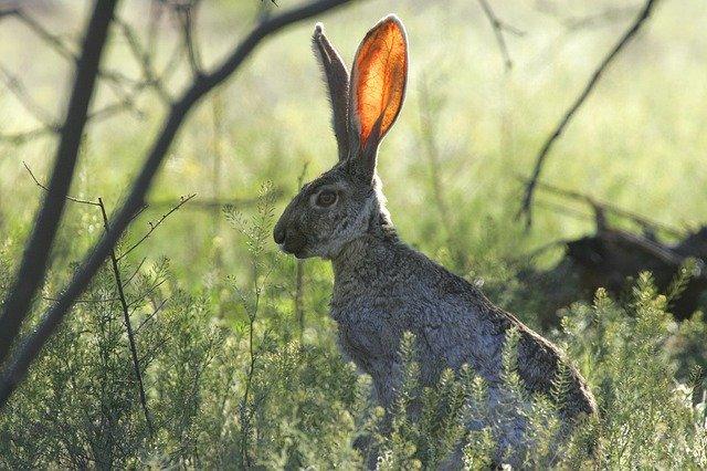 conejo liebre orejas oído 5 HECHOS CURIOSOS SOBRE EL CUERPO HUMANO