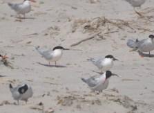 A pair of Roseate Terns