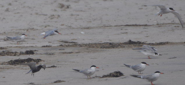 Black Tern with Common Terns and Arctic Tern (upper right)