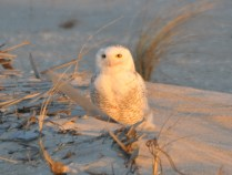 The Snowy Owl was my White Whale for years