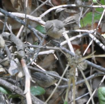 Bushtits in the bushes