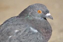 A pigeon portrait