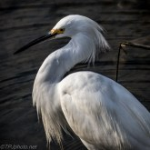 Little Snowy Egret Fishing - Click To Enlarge