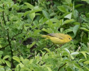 Yellow Warbler - Click To Enlarge