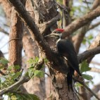Pileated Woodpecker - Click To Enlarge