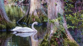 Swan Series - Click To Enlarge