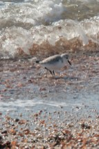 Plover on Connecticut shore