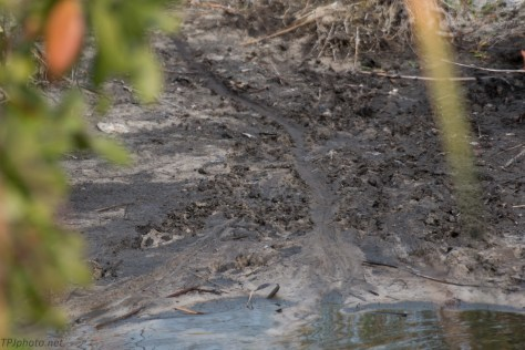 Alligator Tracks In Our Path