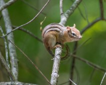 Woods Chipmunk
