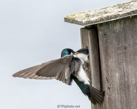 Feeding Young Swallows
