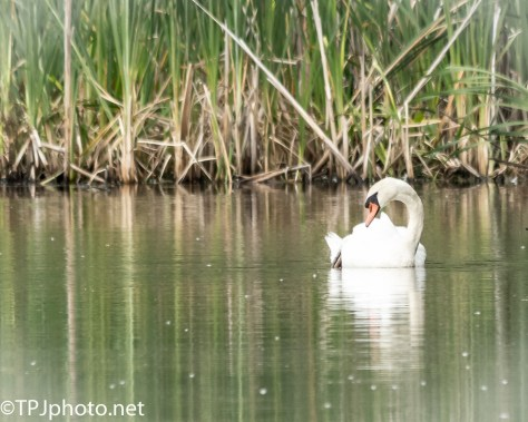 Muted Swan