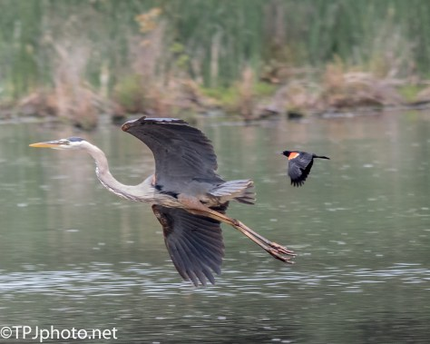 Great Blue Heron And Red Wing