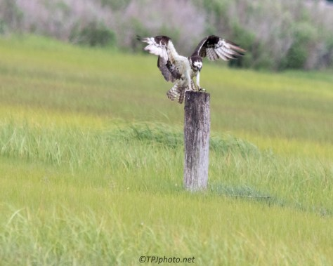 Male Osprey - Click To Enlarge