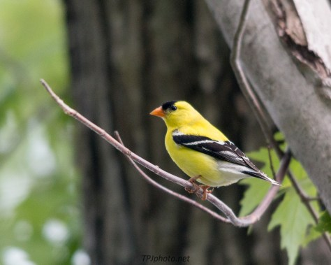Gold Finch In Forest