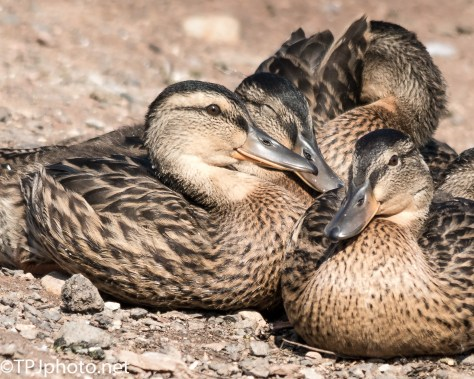 Clump Of Ducklings