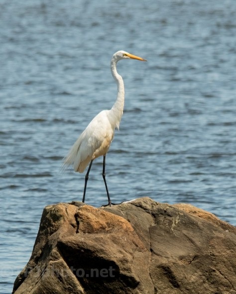 Great Egret Connecticut - Click To View Full Image