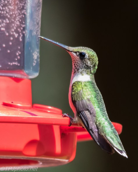 Ruby-throated Hummingbird Connecticut - Click To Enlarge